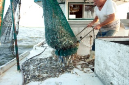 After dragging the nets, the catch is hauled aboard.